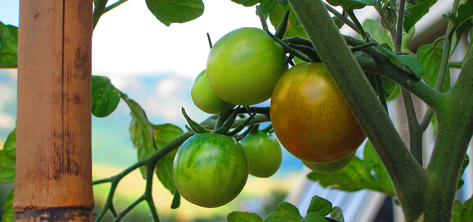 Tomatoes-beginning-to-ripe