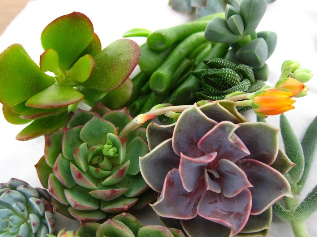 A mix of succulents